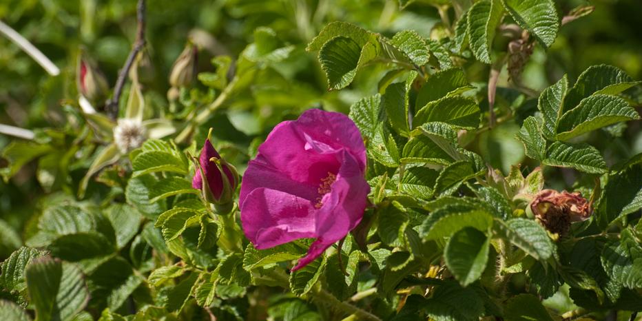 kartoffel rose rosa rugosa kamtschatka rose runzel rose apfel rose. Black Bedroom Furniture Sets. Home Design Ideas